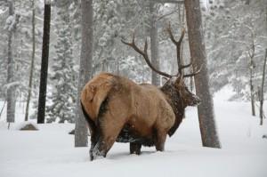 Elk-001