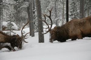 Elk-002